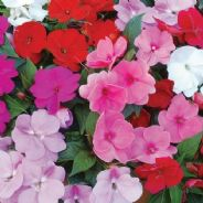 Impatiens Dreamcoat Mix - 75 seeds